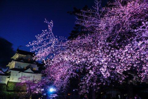 【桜・見頃】小田原城址公園