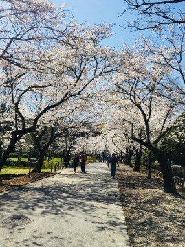 【桜・見頃】鏡野公園