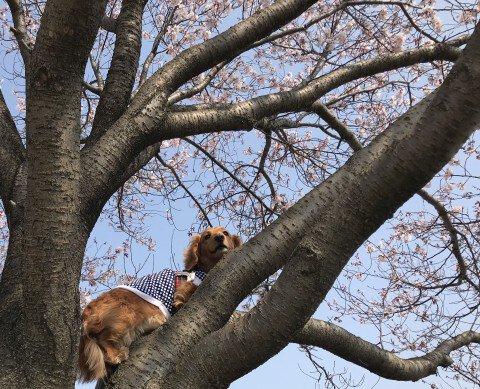 【桜・見頃】狭山池公園
