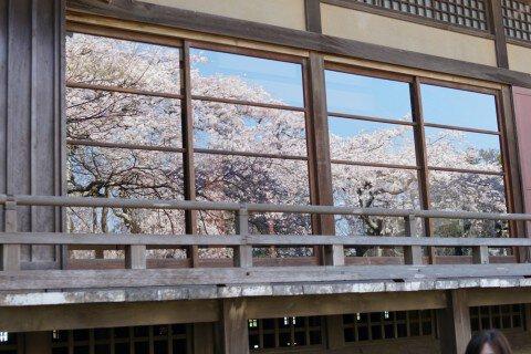 【桜・見頃】般若院のしだれ桜