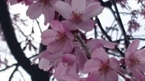 【桜・見頃】千葉公園