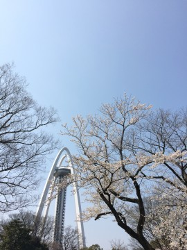 【桜・見頃】木曽川堤
