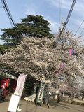【桜・見頃】清水公園