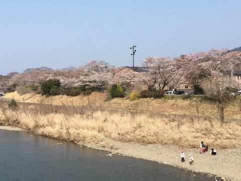 【桜・見頃】五十鈴川堤の桜名所・お花見写真