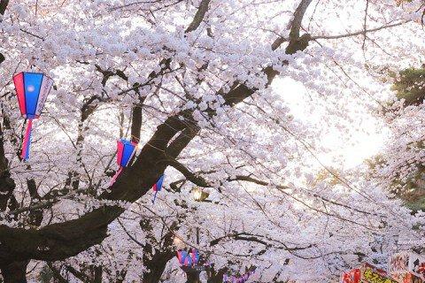 【桜・見頃】大宮公園の桜名所写真