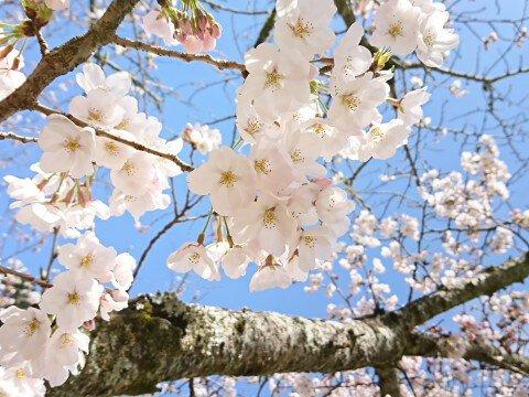 【桜・見頃】道後公園の桜名所・お花見写真