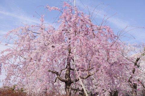 【桜・見頃】鶴舞公園