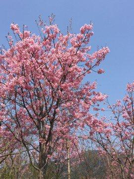 紀美野町「花いちばん」の桜名所・お花見写真
