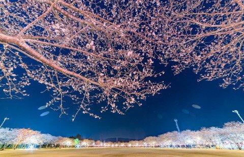 【桜・見頃】忠元公園