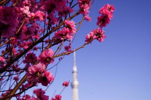 【桜・見頃】隅田公園の桜名所写真