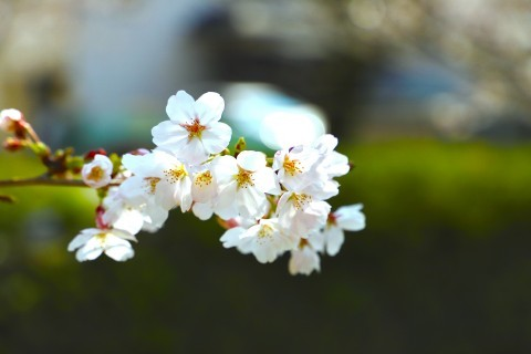 【桜・見頃】一の坂川の桜名所・お花見写真