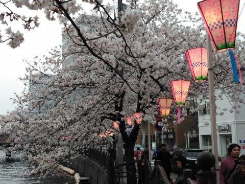【桜・見頃】大岡川プロムナード