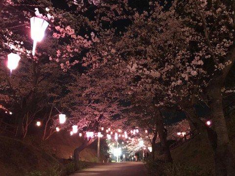 【桜・見頃】小見川城山公園