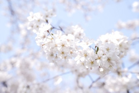 【桜・見頃】舞鶴公園の桜名所写真