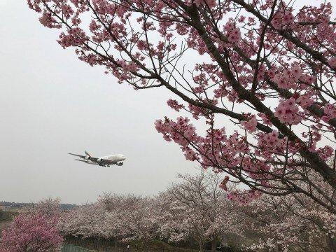 【桜・見頃】成田市さくらの山