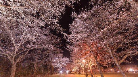 【桜・見頃】忠元公園の桜名所・お花見写真
