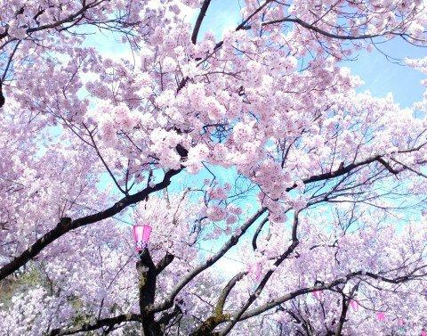 【桜・見頃】高岡古城公園の桜名所・お花見写真