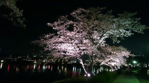 【桜・見頃】千波湖畔