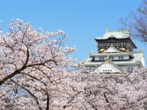 【桜・見頃】大阪城公園