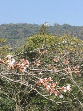 【桜・見頃】錦帯橋の桜名所・お花見写真