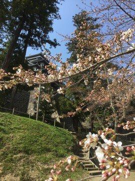 【桜・見頃】松江城山公園の桜名所・お花見写真