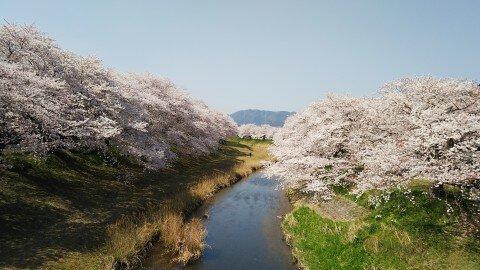 【桜・見頃】音羽川堤