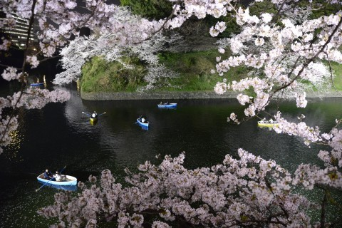 【桜・見頃】千鳥ヶ淵公園