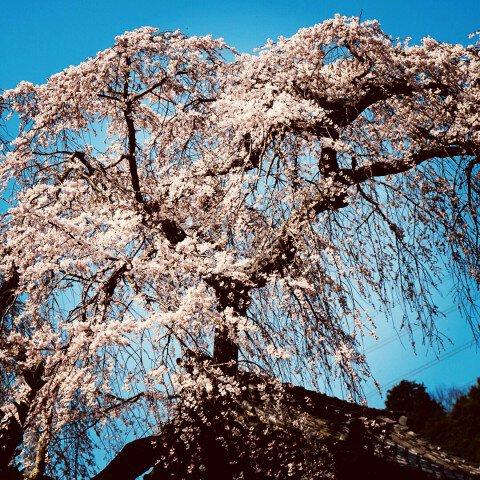 【桜・見頃】地蔵禅院