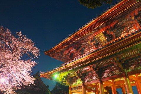 【桜・見頃】池上本門寺