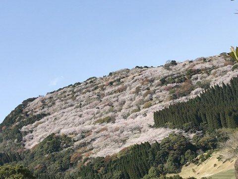 【桜・見頃】花立公園の桜名所・お花見写真