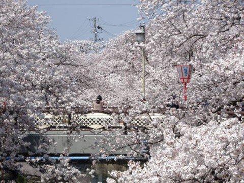 【桜・見頃】岩倉五条川