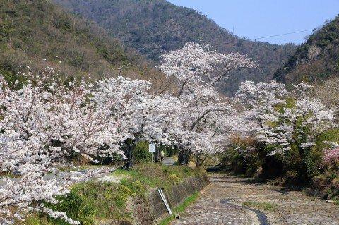 岐阜市北部の入舟川の桜