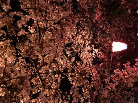 【桜・見頃】立岡自然公園