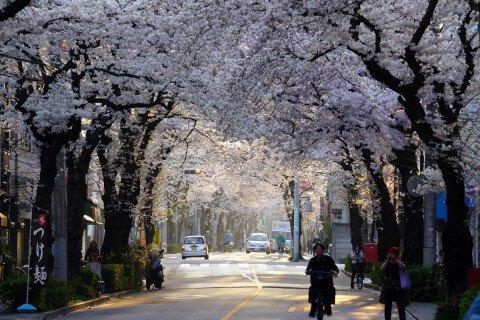 柳原の桜並木