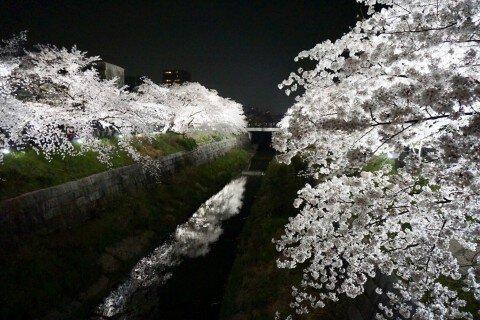 【桜・見頃】山崎川四季の道