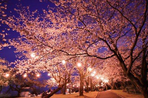 城山公園の桜の桜名所・お花見写真