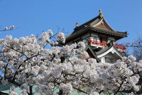 【桜・見頃】清洲城周辺の桜