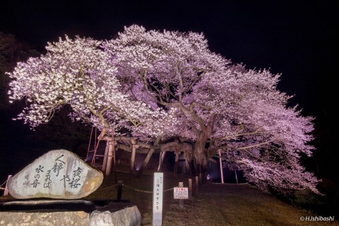 【桜・見頃】三隅大平桜の桜名所・お花見写真