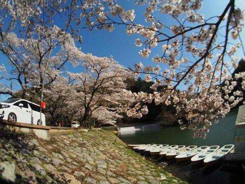 【桜・見頃】鎌北湖