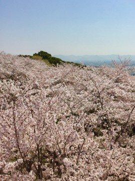 【桜・見頃】御津山園地