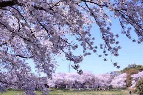 【桜・見頃】大宮第二公園