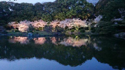 【桜・見頃】特別名勝 栗林公園