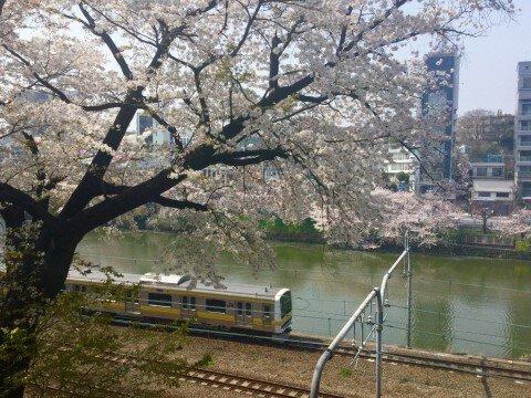 【桜・見頃】外濠公園