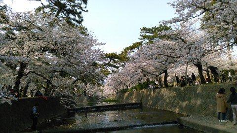 【桜・見頃】夙川河川敷緑地(夙川公園)