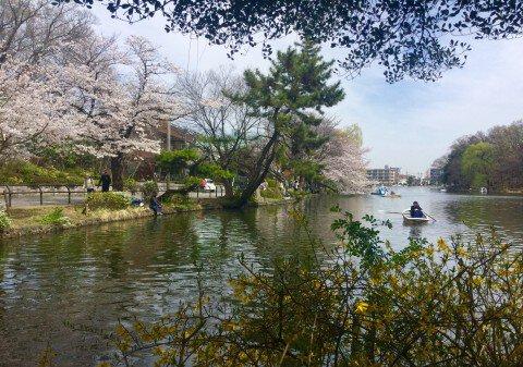 【桜・見頃】石神井公園