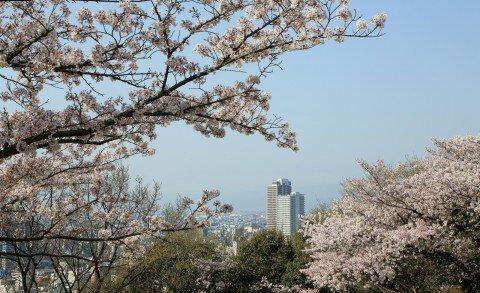 【桜・見頃】水道山