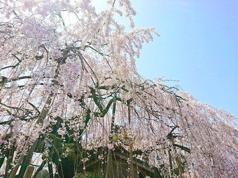 【桜・見頃】石畳東のシダレザクラ