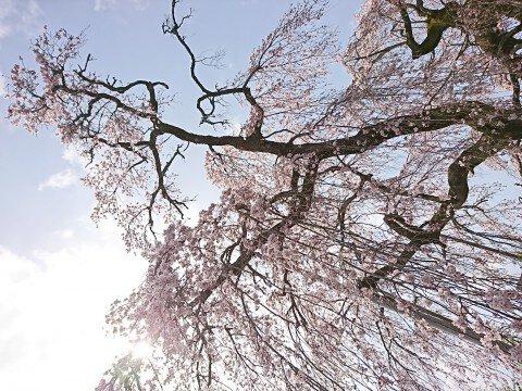 法蓮寺のシダレザグラの桜名所・お花見写真