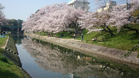 【桜・見頃】岡崎公園