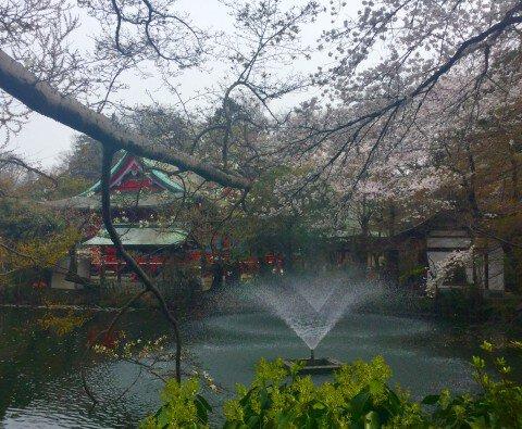【桜・見頃】井の頭恩賜公園